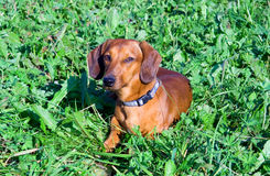 Dog with collar. Dog with a collar on a green grass Stock Images