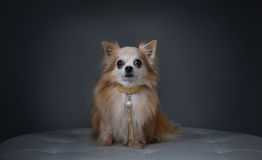 A Dog with a Collar Stock Image