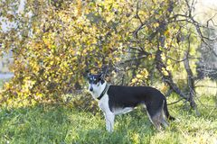 Dog in a collar standing on the grass in the Park. The dog standing on the grass in the autumn Park . The breed is a smooth-coated collie royalty free stock photo