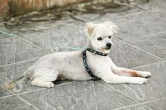 Dog with collar waits on sidewalk in Sevilla, Spain Stock Photography