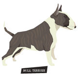 Dog collection Bull Terrier Brindle and White color Royalty Free Stock Images