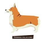 Dog collection Pembroke Welsh Corgi. Set Royalty Free Stock Photo
