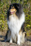 Dog  collie Stock Images
