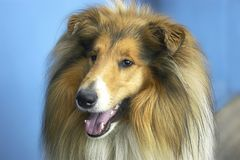 Dog -  collie. Man's best friend Royalty Free Stock Images