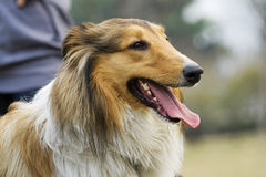 The dog of Collie. The is a Collie dog Stock Photos