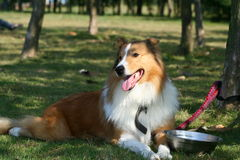 The dog of Collie. This dog is resting on the grassplot Royalty Free Stock Photography