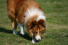 The dog of Collie. This dog is resting on the grassplot Stock Photo