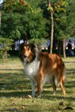 The dog of Collie. This dog is resting on the grassplot Royalty Free Stock Photo