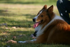 The dog of Collie. This dog is resting on the grassplot Stock Images