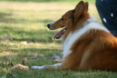 The dog of Collie. This dog is resting on the grassplot Royalty Free Stock Images