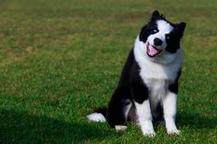 Dog breed Border Collie. Dog collie breed sits on green grass and shows tongue royalty free stock images