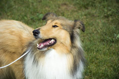 Dog Collie Royalty Free Stock Photo