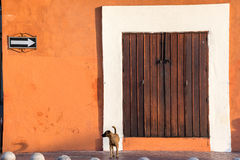 Dog and Colonial Building Royalty Free Stock Image