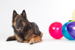 Dog with colored balloons Royalty Free Stock Photo
