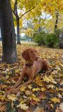 Dog in the colorful autumn park. A beautiful Hungarian Pointing Dog in a park with colorful leaves Royalty Free Stock Images