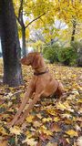 Dog in the colorful autumn park. A beautiful Hungarian Pointing Dog in a park with colorful leaves Stock Image