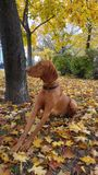 Dog in the colorful autumn park. A beautiful Hungarian Pointing Dog in a park with colorful leaves Royalty Free Stock Image