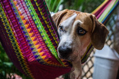 Dog in colorful hammock. A brown-white dog relaxes in a colorful  The brown-eyed dog looks slightly sad but see,s to enjoy the comfortable hammock Stock Photos