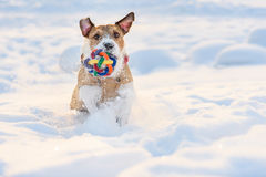 Dog with colorful toy ball running through deep snow Royalty Free Stock Photos