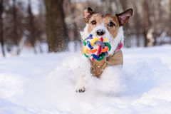Dog with colorful toy playing in deep snow. Jack Russell Terrier playing with a ball Royalty Free Stock Photos