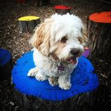 Dog on coloured stand. Dog sitting on brightly coloured blocks Royalty Free Stock Images