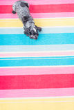 Dog on a colourful rug Stock Images