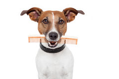Dog with comb. Dog with a brown comb Stock Images