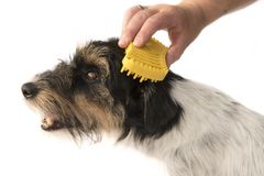 Dog comb - grooming- cute jack russell terrier dog stock image
