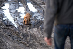 Dog comes out of the mud guiltily Royalty Free Stock Images