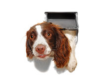 Dog coming through cat flap. English Springer Spaniel dog coming through a cat flap Stock Photography