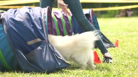 Dog is coming in and out by the command. Hairy white dog is coming in and out a tunnel by the command of its owner stock footage