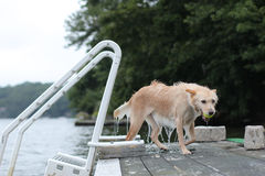 Dog coming out of lake. Dog on dock with ball in mouth wet from the lake Stock Photography