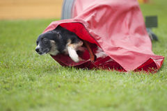 Dog coming out of the red tunnel, competing on an outdoors agility competition Royalty Free Stock Image