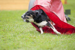 Dog coming out of the red tunnel, competing on an outdoors agility competition Royalty Free Stock Photos