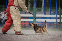 Dog competition, police dog training, dogs sport Royalty Free Stock Images