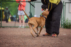 Dog competition, police dog training, dogs sport Stock Photo