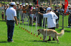 Dog Competition and Taming Challenge Royalty Free Stock Photography