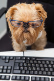 Dog and computer. Dog works for a computer, looking at the monitor royalty free stock image