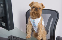 Dog and the computer. Dog breed Brussels Griffon, and the computer stock photo