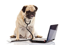 Dog computer isolated on white background doctor. Pug dog isolated on white background doctor pc laptop high modern technology in medicine pet domestic animal Stock Photos