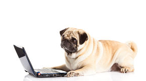 Dog and computer isolated on white background. Pug dog computer pugdog internet device notebook pc modern technology concept funny pet with laptop domestic Royalty Free Stock Photography