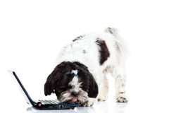 Dog with computer isolated on white background. Shih tzu with computer isolated on white background dog funny pet modern technology internet laptop pc concept stock photography
