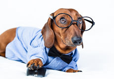 Dog with computer mouse. The dog is in the shirt and glasses with computer mouse Stock Photos