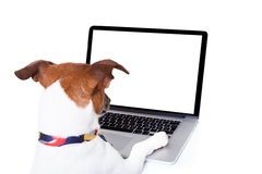Dog computer pc. Jack russell dog booking , searching or browsing online the internet , with a laptop pc computer screen, isolated on white background