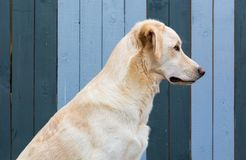 Dog with concentrated stare Royalty Free Stock Image