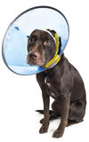 Dog with cone and bandage. Dog sitting and wearing a collar cone to heal ear injury stock photo