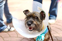 Dog with a cone. Funny cute Stock Photography