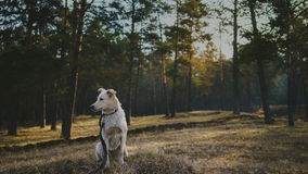 Dog in coniferous forest. On the morning Royalty Free Stock Images
