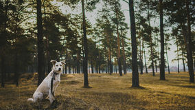 Dog in coniferous forest. On the morning Royalty Free Stock Image