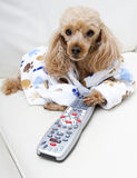 Dog Controls The Remote Stock Images